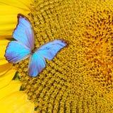 Zonnebloem met vlinder Stock Fotografie