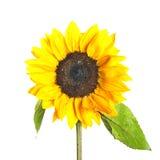 Zonnebloem met waterdalingen Royalty-vrije Stock Afbeelding