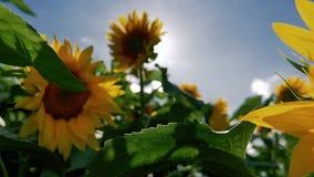 Zonnebloem met zon op de achtergrond stock video