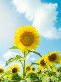 Zonnebloem met zonnebloemgebied in blauwe hemel Royalty-vrije Stock Foto's