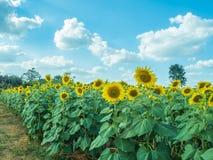 Zonnebloem met zonnebloemgebied en blauwe hemel Stock Afbeeldingen