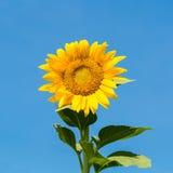 Zonnebloem met zonnige hemel Stock Afbeeldingen