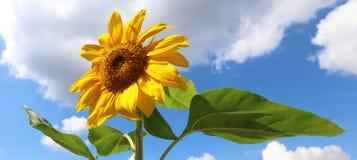 Zonnebloem mooie bloem geel en groen op achtergrond tijdens de zomer in Michigan royalty-vrije stock foto