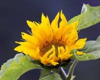 Zonnebloem in Ochtendzonlicht Royalty-vrije Stock Afbeeldingen