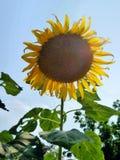 Zonnebloem onder blauwe hemel Royalty-vrije Stock Afbeeldingen