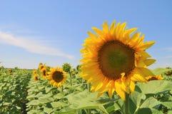Zonnebloem onder de zon royalty-vrije stock fotografie