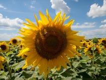 Zonnebloem onder velen Stock Afbeeldingen