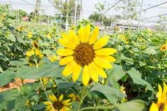 Zonnebloem onder zonlicht Royalty-vrije Stock Afbeeldingen