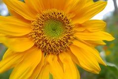 Zonnebloem op Aard Groene Achtergrond Stock Fotografie