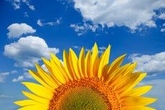 Zonnebloem op achtergrond van hemel stock fotografie