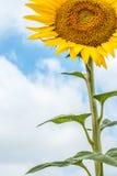 Zonnebloem op achtergrond van wolken en blauwe hemel Royalty-vrije Stock Foto's