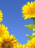 Zonnebloem op achtergrondhemel Stock Foto