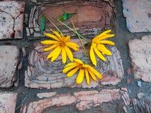 Zonnebloem op baksteengang Stock Foto's