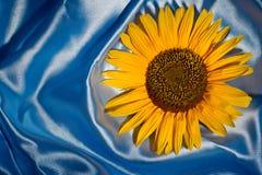 Zonnebloem op blauw satijn Stock Foto's