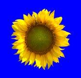 Zonnebloem op blauwe achtergrond Stock Foto's