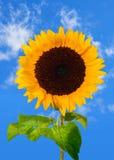 Zonnebloem op blauwe hemel Stock Afbeeldingen