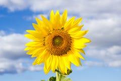 Zonnebloem op blauwe hemel Stock Afbeelding