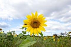 Zonnebloem op blauwe hemel Royalty-vrije Stock Foto