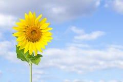 Zonnebloem op blauwe hemel Royalty-vrije Stock Afbeeldingen