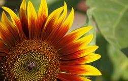 Zonnebloem op de groene bladerenachtergrond Stock Afbeelding