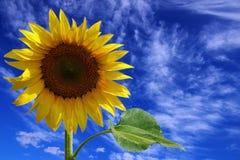 Zonnebloem op een achtergrond van de blauwe hemel. Stock Afbeeldingen