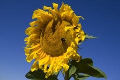 Zonnebloem op een blauwe hemel als achtergrond Stock Afbeelding