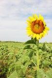 Zonnebloem op een zonnebloemgebied met blauwe hemel Royalty-vrije Stock Foto's