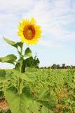 Zonnebloem op een zonnebloemgebied met blauwe hemel Royalty-vrije Stock Fotografie