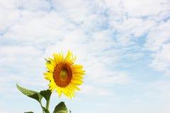 Zonnebloem op een zonnebloemgebied met blauwe hemel Royalty-vrije Stock Afbeeldingen