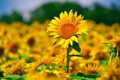 Zonnebloem op Gebied Stock Afbeeldingen