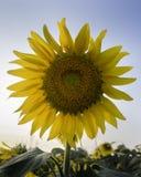Zonnebloem op glanzende duidelijke hemel Stock Foto