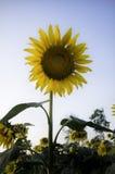 Zonnebloem op glanzende duidelijke hemel Royalty-vrije Stock Afbeelding