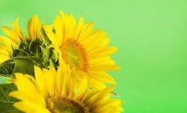 Zonnebloem op groen Stock Foto