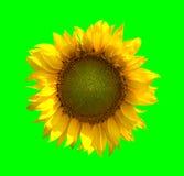 Zonnebloem op groene achtergrond Stock Afbeeldingen