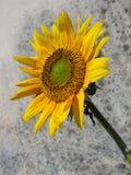 Zonnebloem op grungeachtergrond Royalty-vrije Stock Fotografie