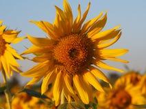 Zonnebloem op het gebied Stock Afbeelding