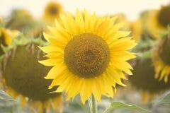 Zonnebloem op het gebied stock afbeeldingen