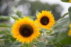 Zonnebloem op het gebied - Voorraadbeeld Stock Fotografie