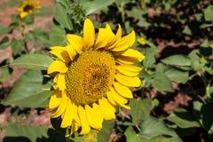 Zonnebloem op het groene gebied bij platteland Royalty-vrije Stock Foto's