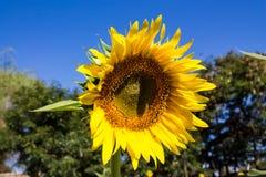 Zonnebloem op het groene gebied bij platteland Royalty-vrije Stock Foto