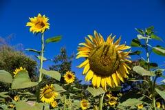 Zonnebloem op het groene gebied bij platteland Royalty-vrije Stock Afbeelding