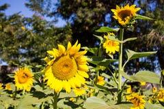 Zonnebloem op het groene gebied bij platteland Royalty-vrije Stock Fotografie