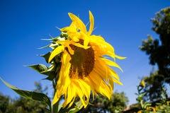 Zonnebloem op het groene gebied bij platteland Stock Foto