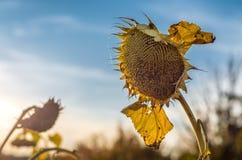 Zonnebloem op het landbouwbedrijfgebied Het oogsten De herfst Daling royalty-vrije stock afbeeldingen