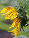 Zonnebloem op regenachtige dag Stock Foto