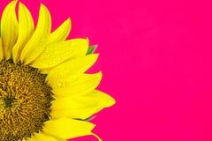 Zonnebloem op roze achtergrond Royalty-vrije Stock Afbeeldingen