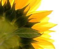 Zonnebloem op wit Stock Fotografie