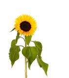 Zonnebloem op witte achtergrond Stock Foto's
