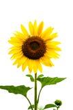 Zonnebloem op witte achtergrond Stock Afbeeldingen