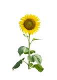 Zonnebloem op witte achtergrond Royalty-vrije Stock Afbeelding